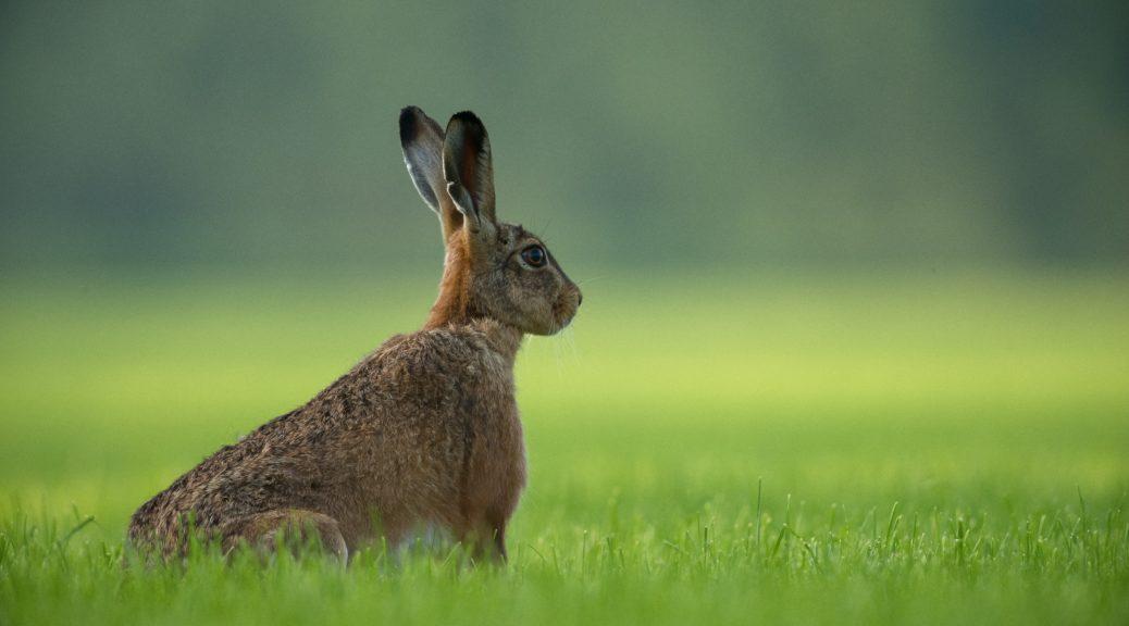 Zum zuhören sind Kaninchenohren ideal